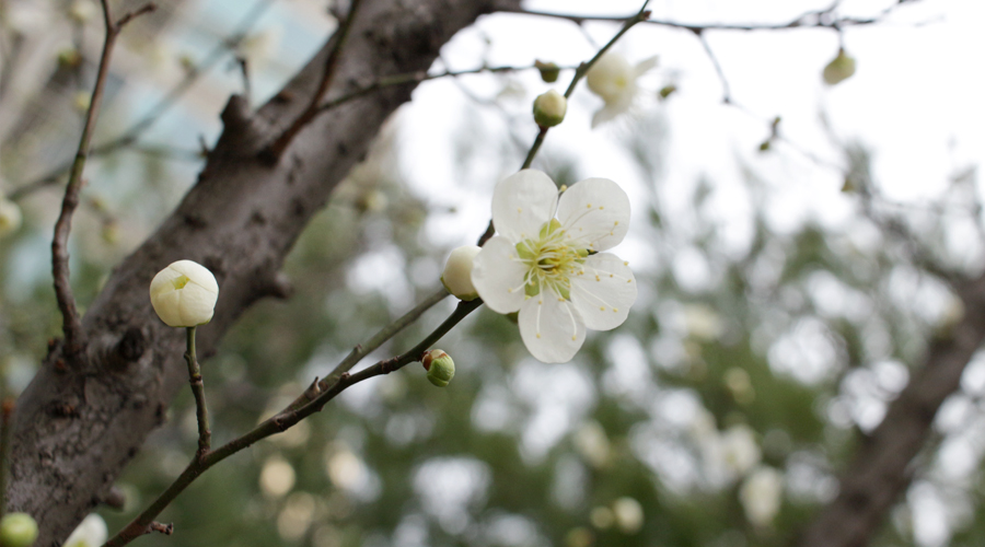 2015-03-22-cherry-blossoms-02